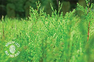 product image for Incense Cedar | Lot of 30 Tree Seedlings | The Jonsteen Company