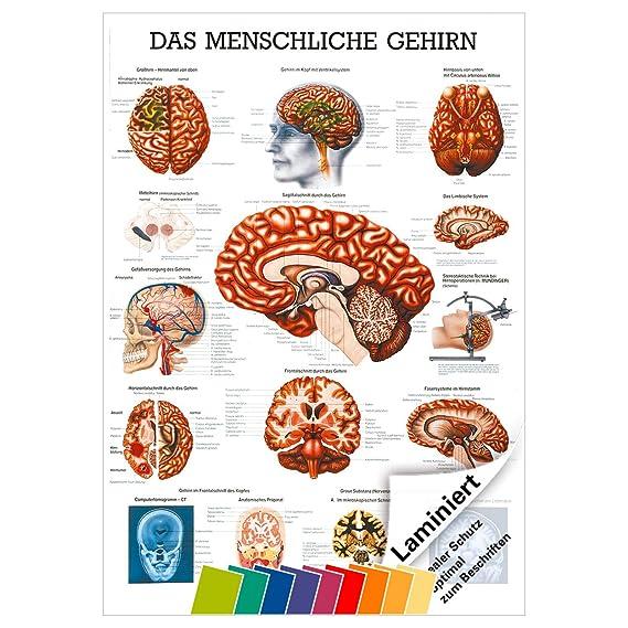 Gemütlich Teile Des Gehirns Arbeitsblatt Bilder - Arbeitsblätter für ...