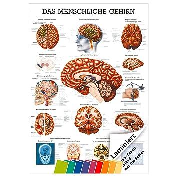 Gehirn Mini-Poster Anatomie 34x24 cm medizinische Lehrmittel: Amazon ...