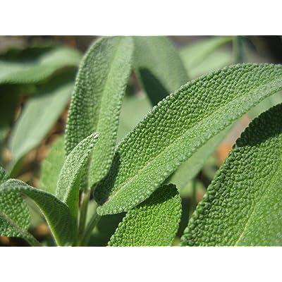 Lumos80 Herb, 32 Varieties Medicinal and Spice Seeds SAGE 50 Seed : Garden & Outdoor