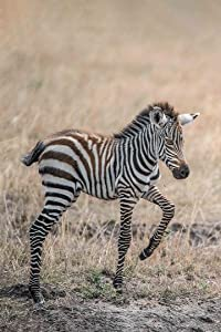 Algreen Professional Photography on Gallery Stretched Canvas-Baby Zebra Pying in The Wilderness (Color) by Sol Algranti-Wild Life Collection