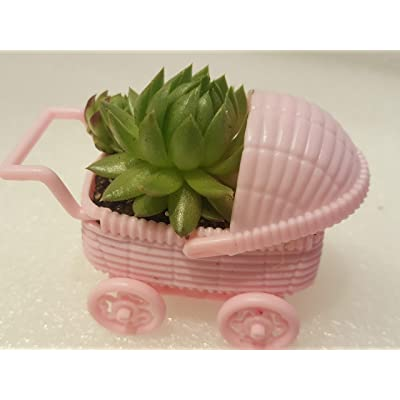 Mini Succulent Plugs Baby Shower Favors in Pink Baby Carriages Live Succulent Plants Sempervivum Hens Chicks Hardy Succulent Fairy Garden Wedding Favor Party Favor 6 Pack It's A Girl! : Garden & Outdoor