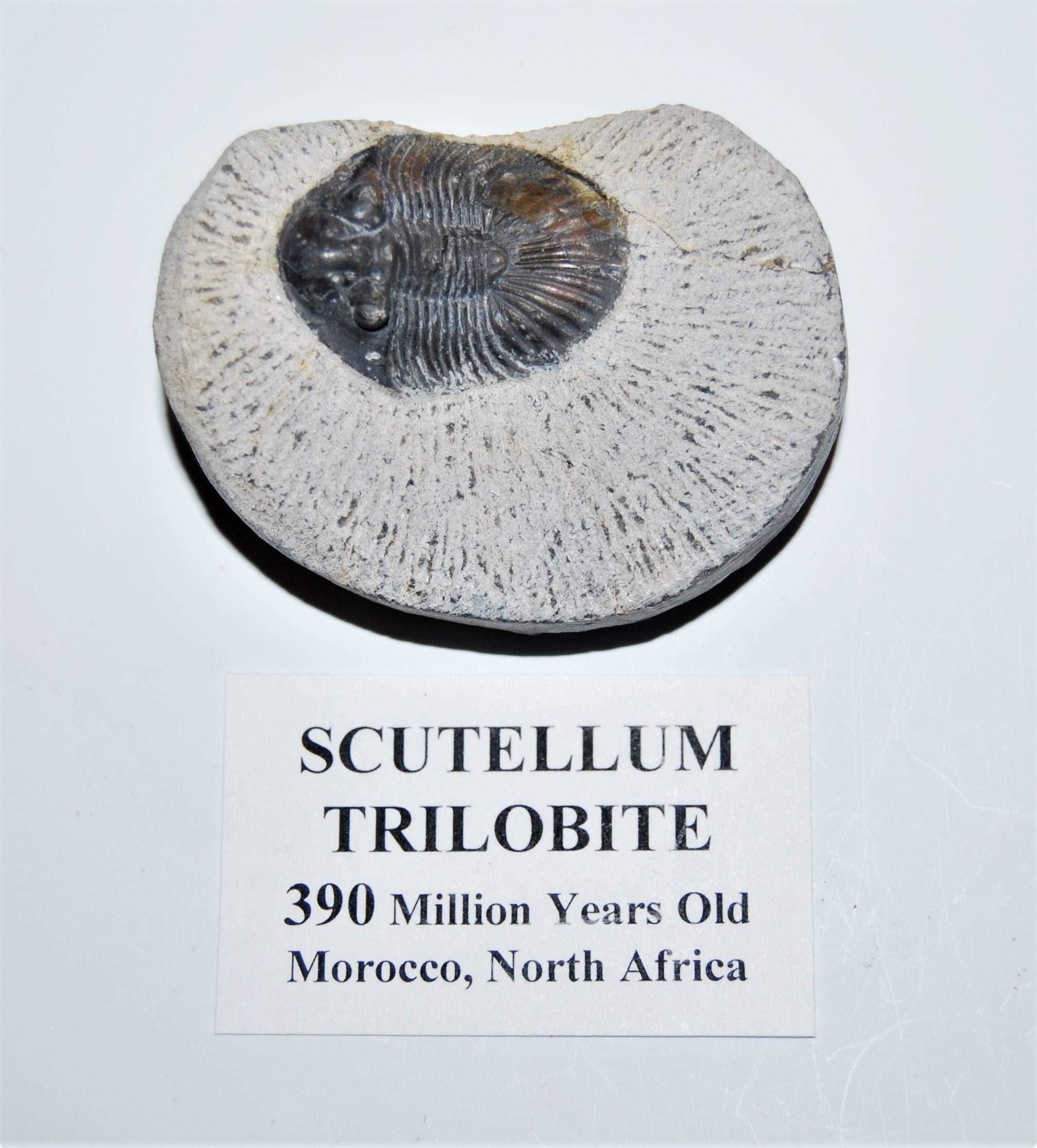 Scutellum Trilobite Fossil Morocco 390 MYO #14063 6o