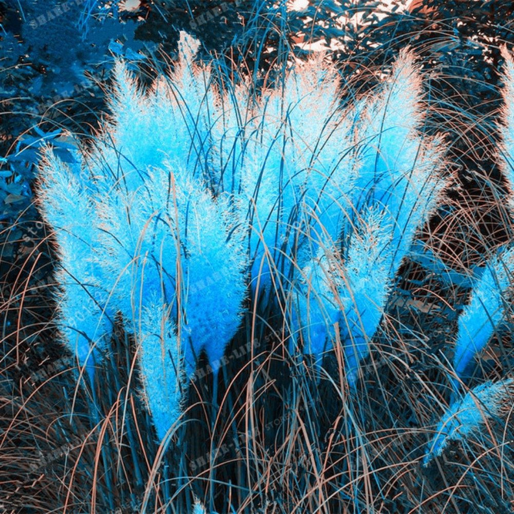 1000 Pieces Cortaderia Pampas Grass Seed Blue Pink Purple White Yellow Romantic Color Shiningup