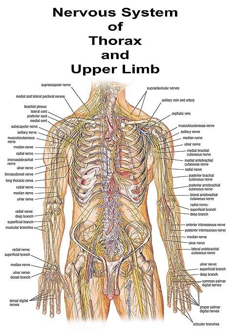 Educational Anatomy The Human Nervous System Medical University