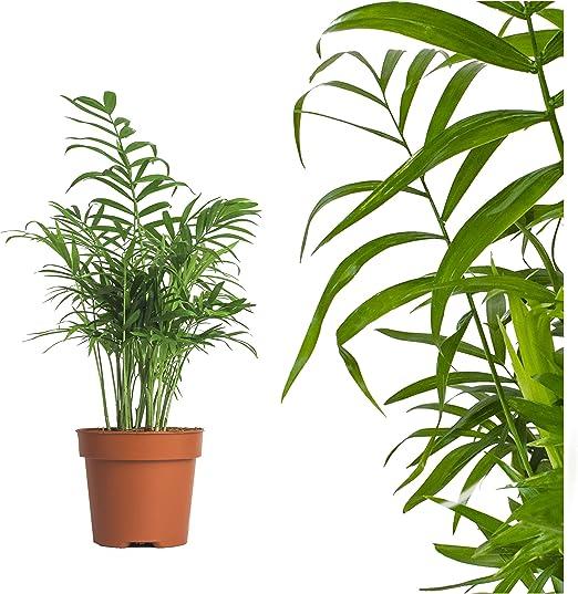 Palmera montaña 50cm Chamaedorea elegans Arecaceae - Arecaceae: Amazon.es: Jardín
