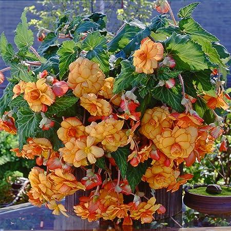 Amazon Com Yellow Orange Amerihybrid Tuberous Begonia Hanging