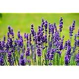 100 Lavender Vera Seeds - True Lavender, English Lavender, Lavandula Angustifolia - by RDR Seeds
