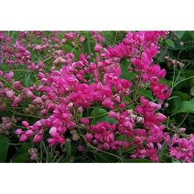 18+ Coral Vine SEEDS, PINK (Antigonon leptopus) Rosa De Montana, Queen's Wreath OL : Garden & Outdoor