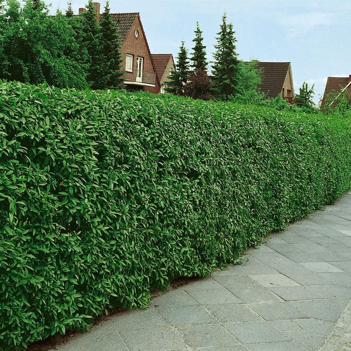 Liguster Hecke 10 Pflanzen ca 50 cm mit festem Wurzelballen Topf