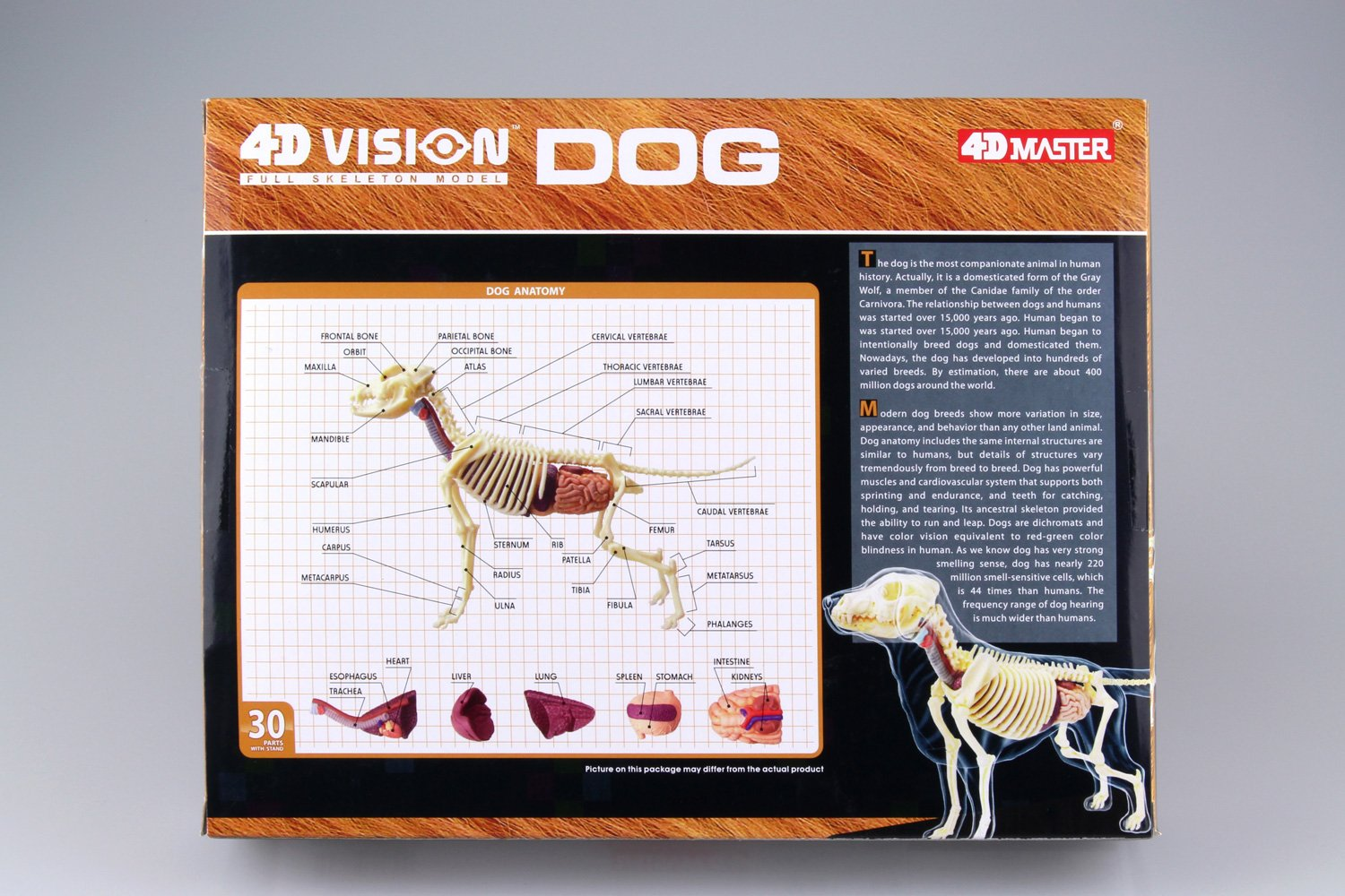 Dog Anatomy Skeleton Model (Plastic model), Toys & Games - Amazon Canada