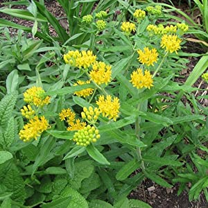 Yellow Milkweed Seeds (Asclepias tuberosa) - 40+ Medicinal Herb Seeds in FROZEN SEED CAPSULES for The Gardener & Rare Seeds Collector - Plant Seeds Now or Save Seeds for Years