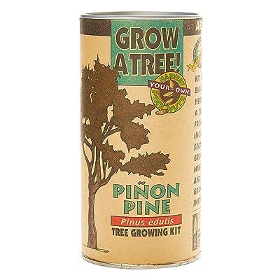 Piñon Pine | Tree Seed Grow Kit | The Jonsteen Company : Garden & Outdoor