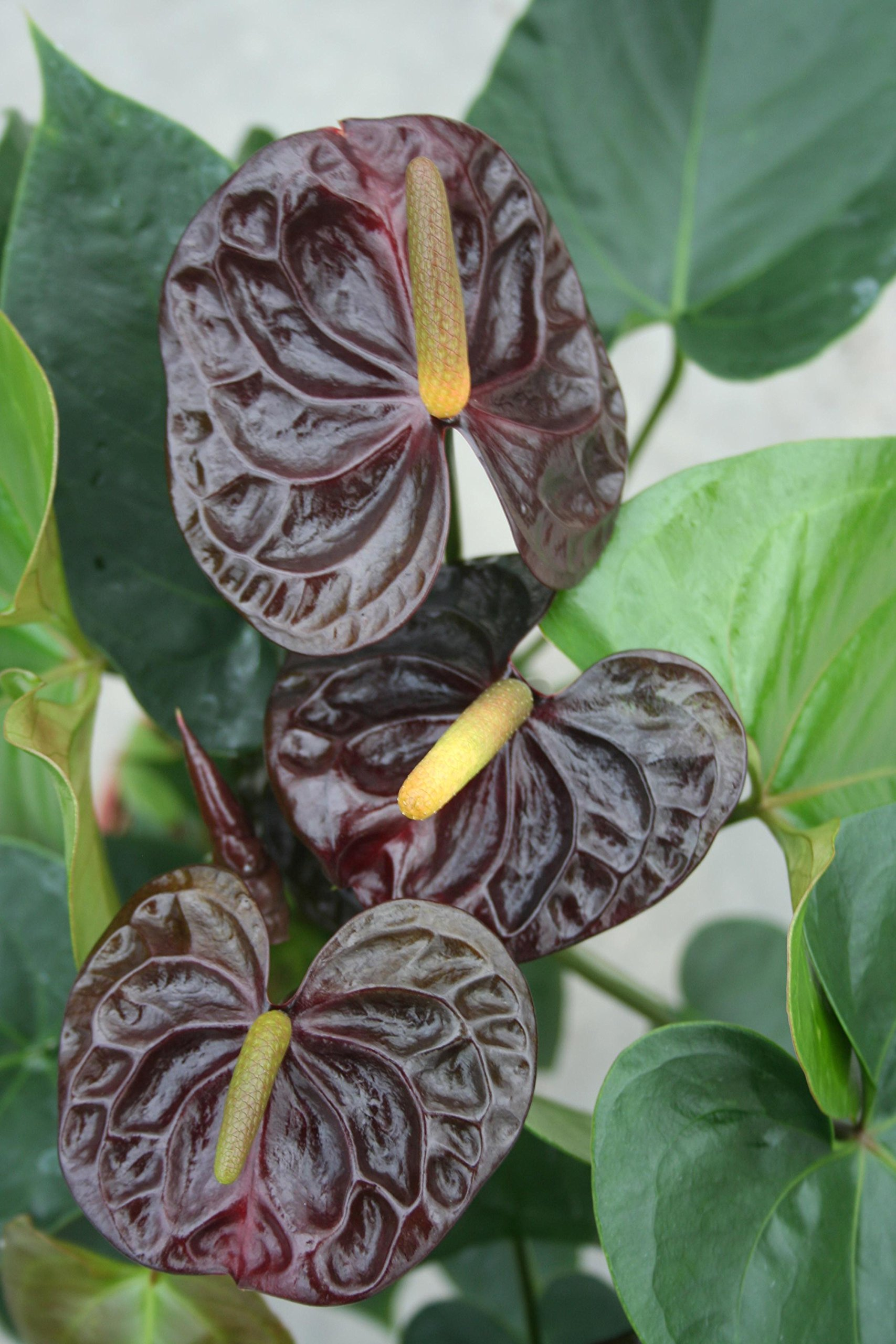 Anthurium Dark Chocolate - Live House Plant - Easy to Grow - Florist Quality - Cleans the Air by Florida Foliage (Image #1)