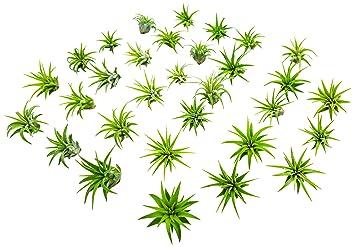 25 miniature fairy garden plants live tillandsia air plants for enchanted gardens terrarium house - Fairy Garden Plants