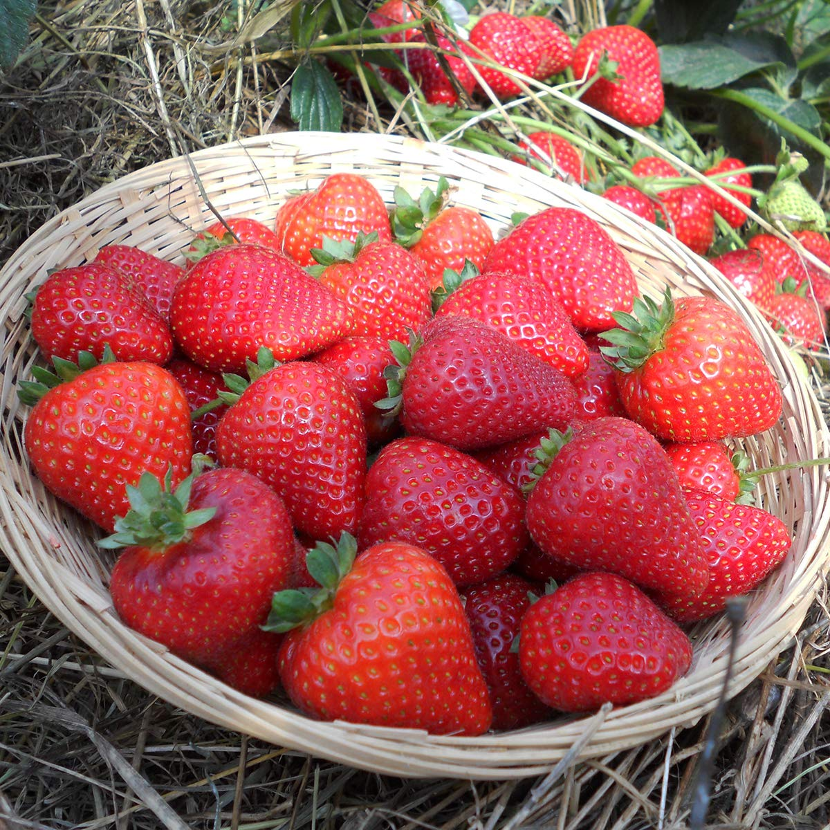 Burpee 'Sweet Kiss' Ever-Bearing Strawberry shipped as 25 BARE ROOT PLANTS by Burpee (Image #1)
