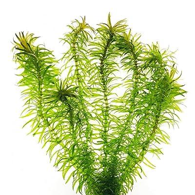 Live Aquarium Plants Guppy Grass Najas Species Bunch Easy Aquarium Plant Live PNF22 : Garden & Outdoor