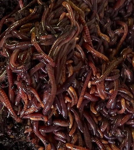 Amazon.com: 100 Rojo gusanos, Compost gusanos: Jardín y ...