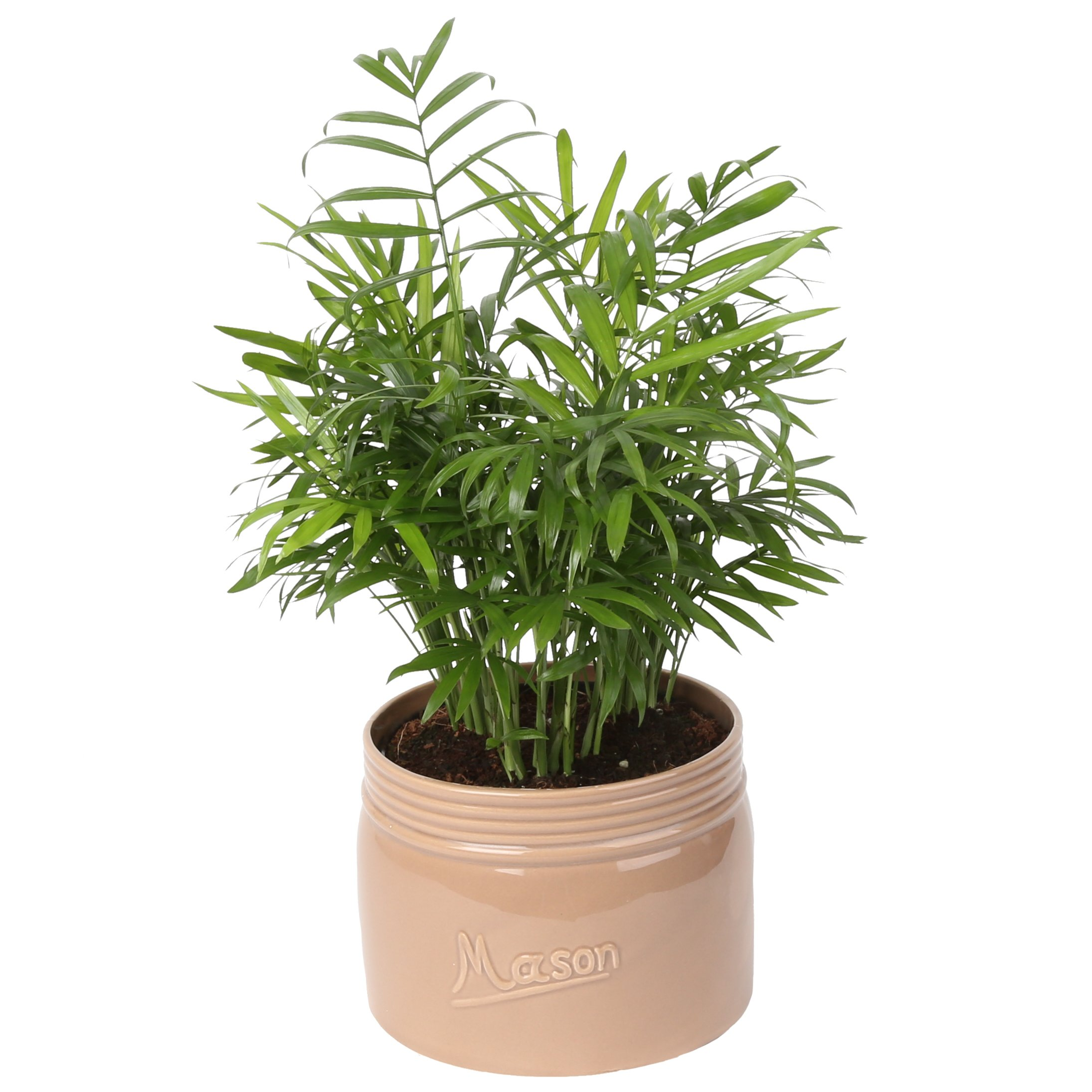 Costa Farms Neanthe Bella Parlor Palm, Live Indoor Tabletop Plant in Home Decor 6-inch Mason Jar Ceramic, Great for Gifts