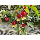 Abutilon Megapotamicum -Chinese Lantern Plant- Easy to grow- hibiscus type- Shrub - flowering maple