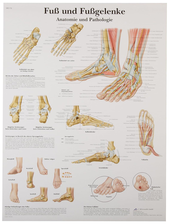 Amazon.com: 3B Scientific VR0176UU Glossy Paper Fuß Und Fußgelenke ...