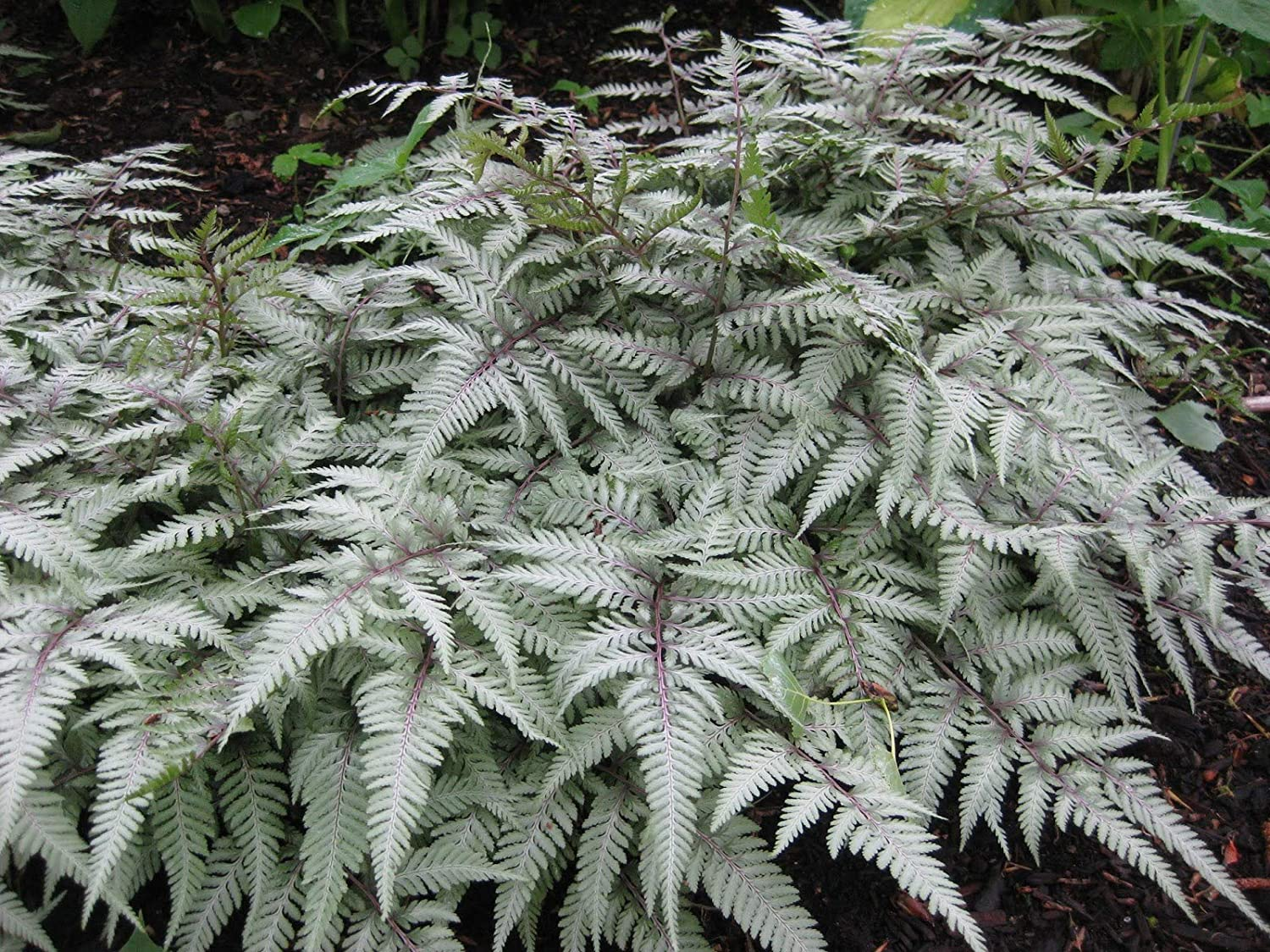 Athyrium niponicum Silver Falls - Japanese Painted Fern, in 9cm Pot, IR Trading LTD.