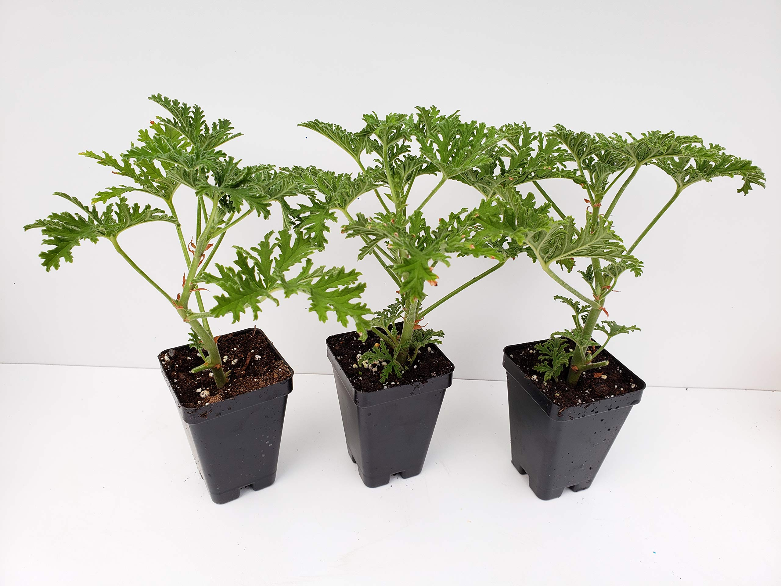 Live Citronella Starter Plants - 3 Pack of Citrosa Mosquito Plants - Scented Geranium