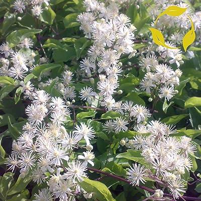 TRAVELLERâS Joy/Old Man's Beard Clematis Vitalba - 20+ Seeds : Garden & Outdoor