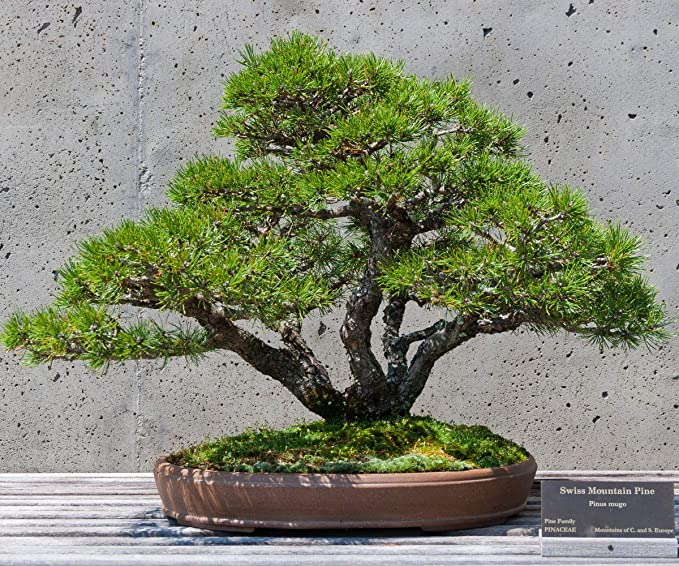 Scoutseed 10 Semi Seeds Pinus Mugo Pumilio Nano 10 Semi Dwarf Mountain Pine Seeds Pre Bonsai Guida Amazon Co Uk Garden Outdoors