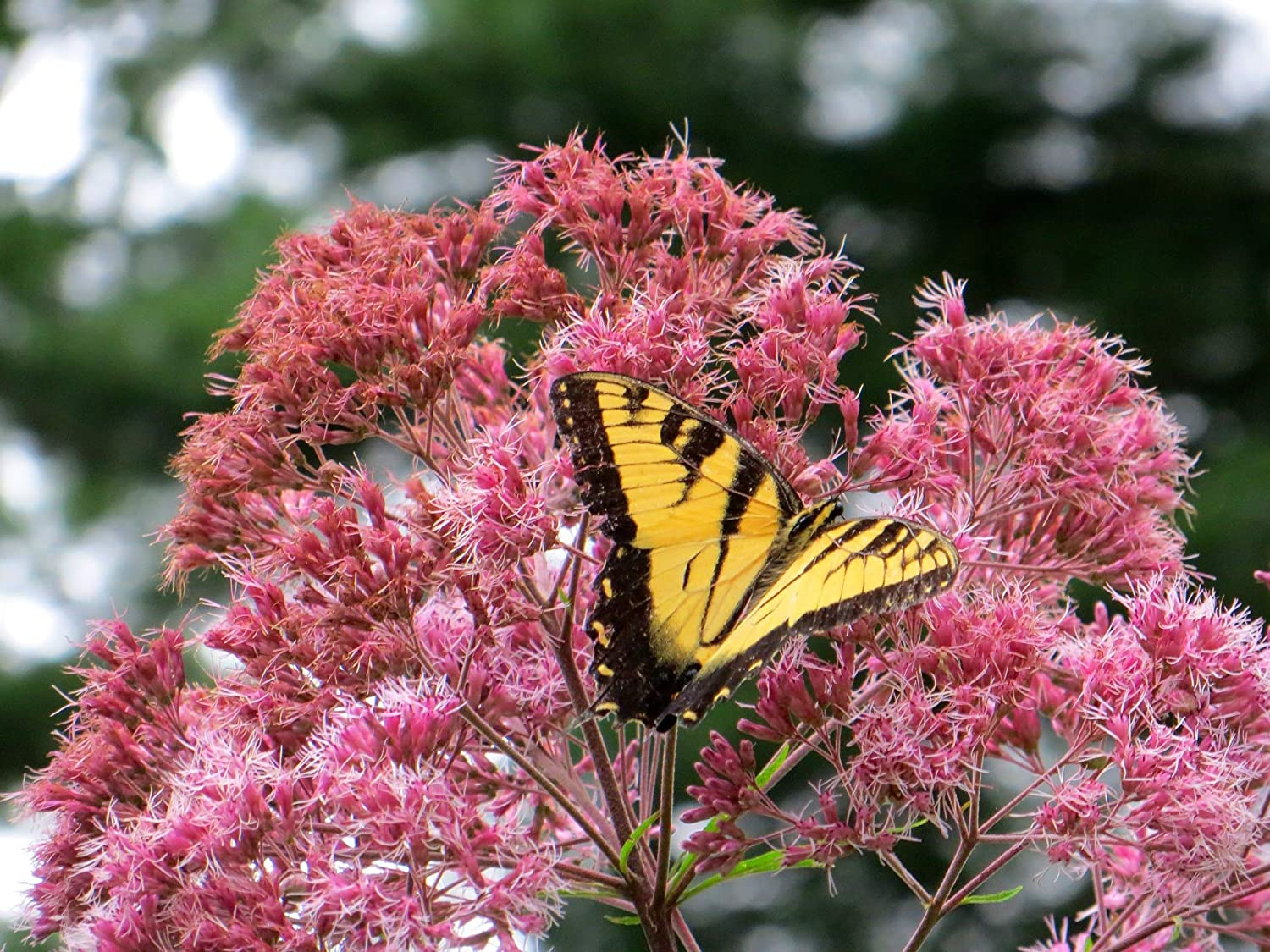 Sweet Joe Pye Weed for Growing Hummingbird and Butterfly Attracting Pink Wildflower FR7 (350 Seeds, or 1/4 Gram)
