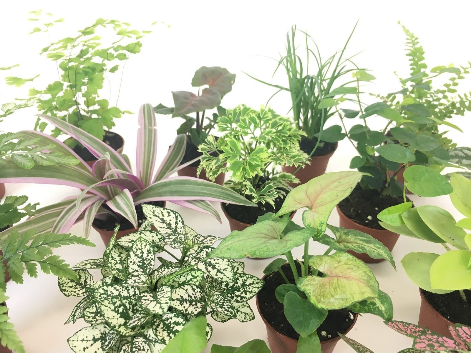 2'' Mini Fairy Garden & Terrarium Plants Assorted Varieties (Pack of 2 Plants) by Ma_Plant (Image #2)