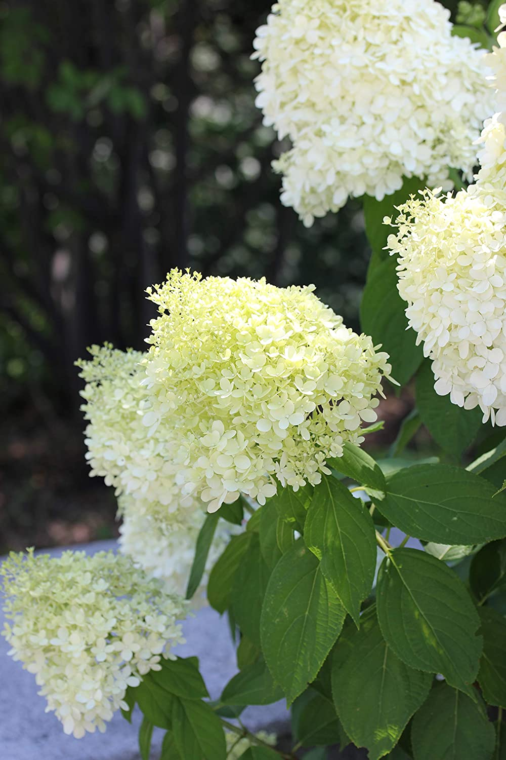 Proven Winner Limelight Hydrangea 2 Gal Green to Pink Blooms