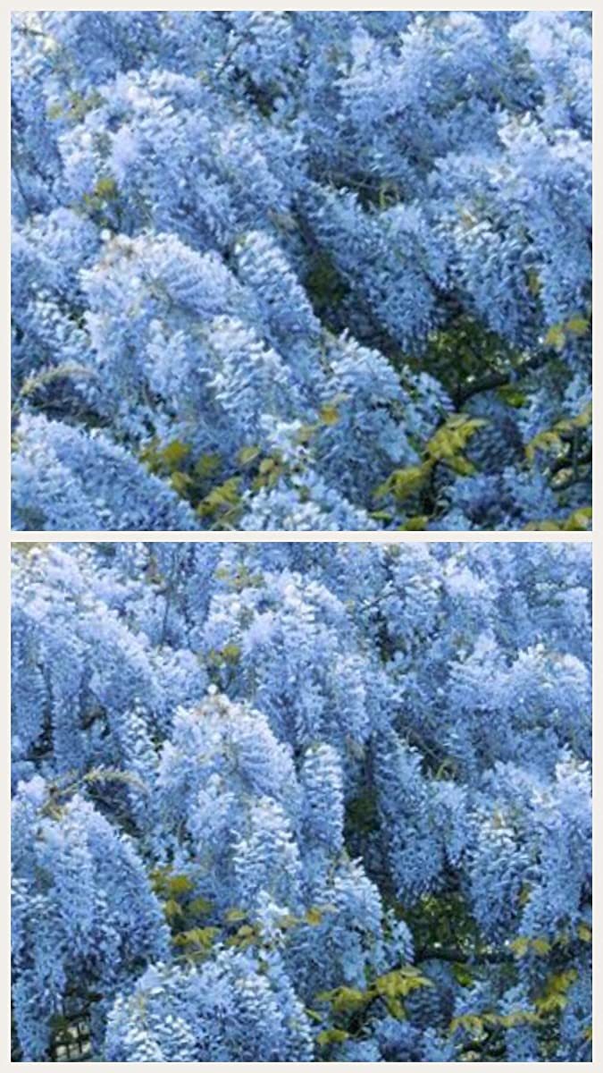 Homegrown Packet Wisteria Seeds, 55 Seeds, Chinese Wisteria Tree Blue
