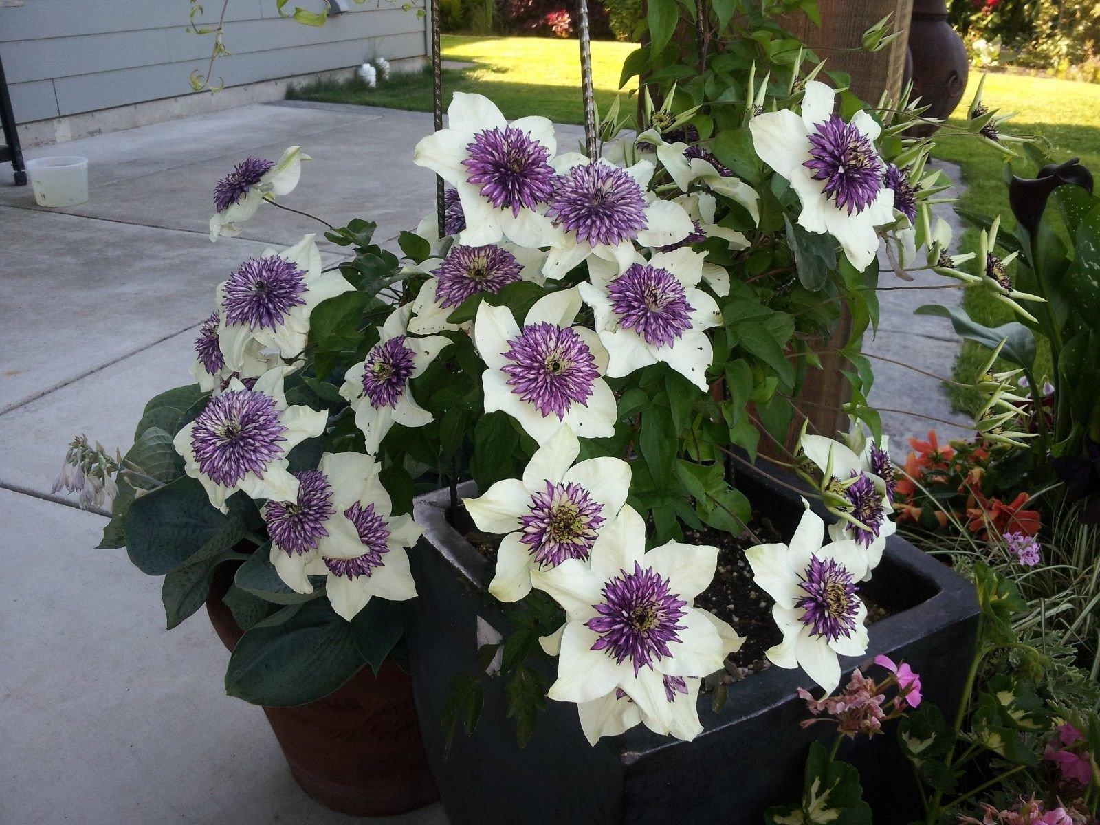 Clematis ' Florida Sieboldii' (1Bare Root) ,Large-flowered Vine!