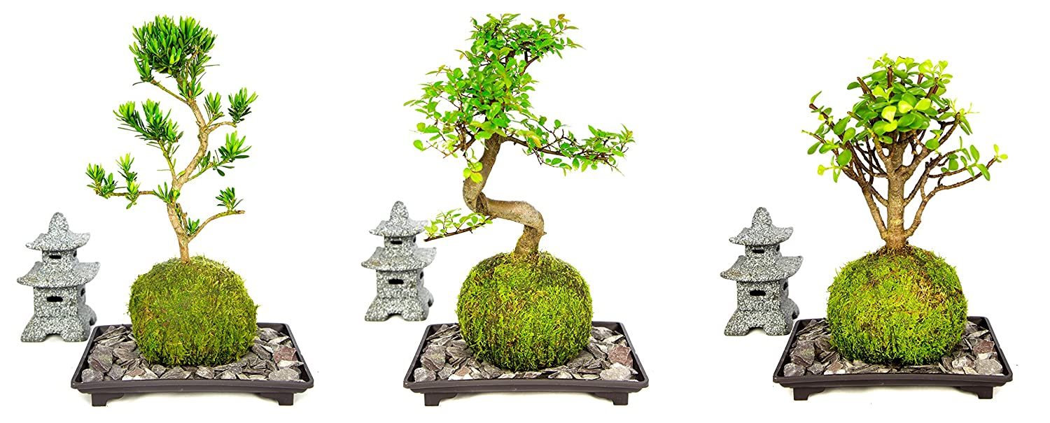 Bonsai Tree LIVE 8 Year Old Chinese Elm Indoor House Plant With