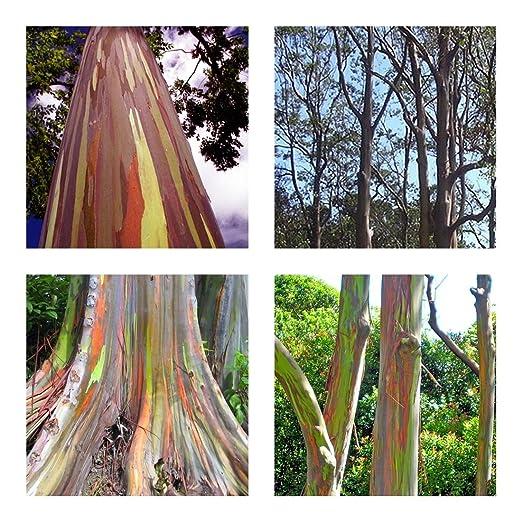 9 opinioni per Arcobaleno Tree- Eucalyptus deglupta (Bonsai adatto)- 25 semi- Rarità !!!