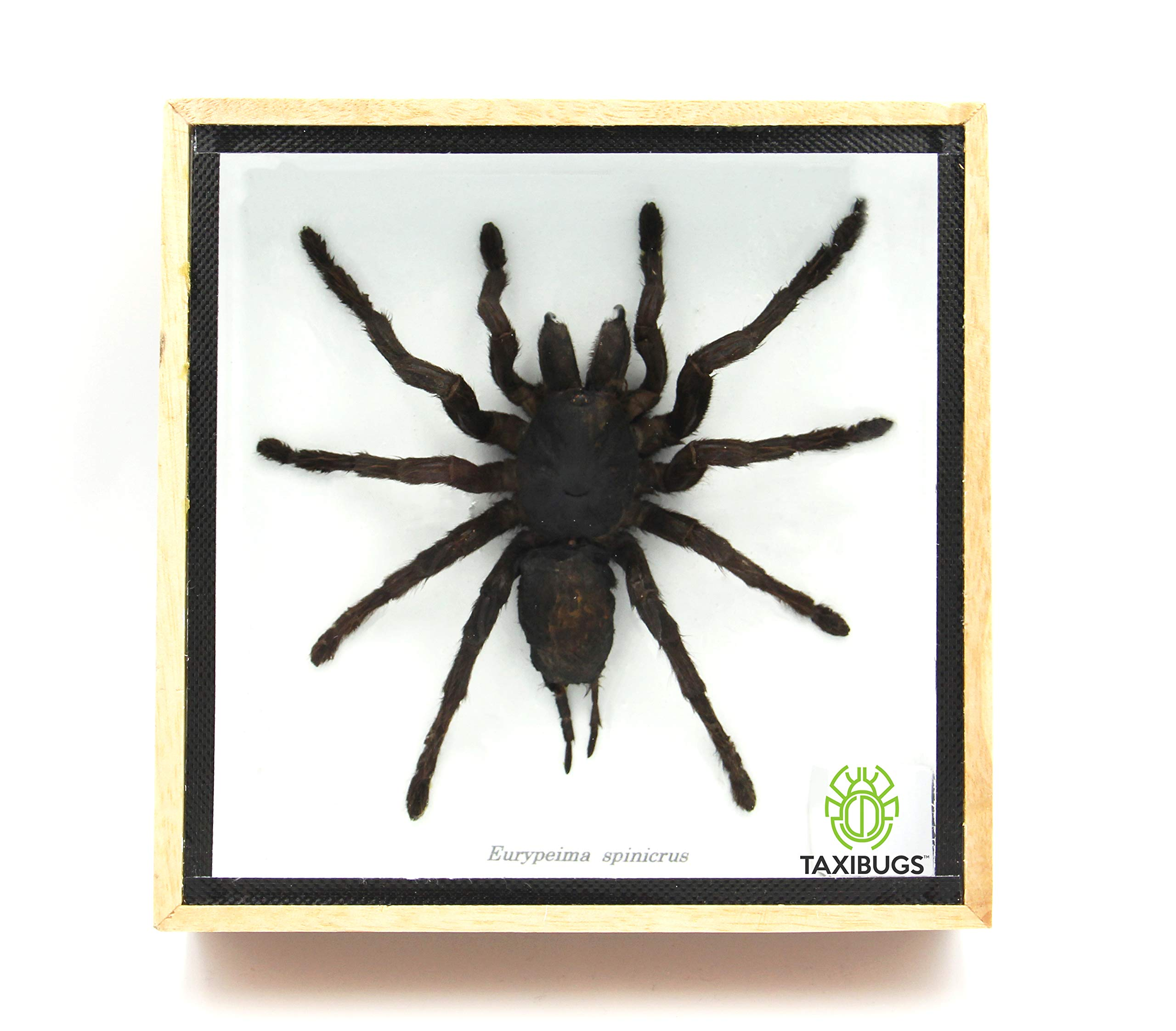 Heterometrus spinifer The GIANT Thai Forest Scorpion | Framed Arachnid Wall Decor 8 x 6 in. Unique Taxidermy Collectables