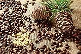 antioxidant Capsules - Pine BARK Extract 100 MG