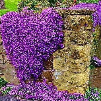 Berühmt Begorey 100 Stück Steinkraut Blumen Samen Klettenpflanzen Seltenen #PO_18