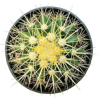 """Golden Barrel Cactus Echinocactus Grusonii Cactus (4"""" + Clay Pot) : Garden & Outdoor"""