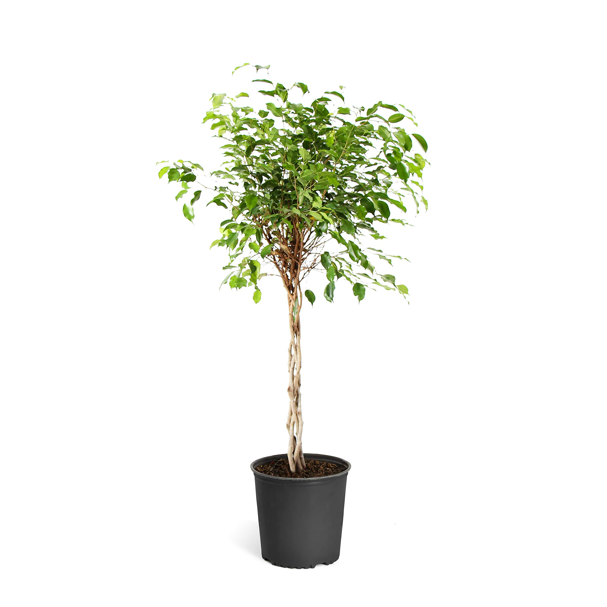 Brighter Blooms Benjamina Ficus Tree, 2-3 Ft. - The Easiest to Grow Ficus | Indoors or Outside | Low Maintenance | No Shipping to AZ by Brighter Blooms