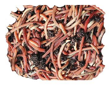 Lombriz tigre para compostaje
