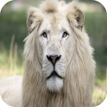 Amazon Com White Lion 4k Wallpaper Appstore For Android