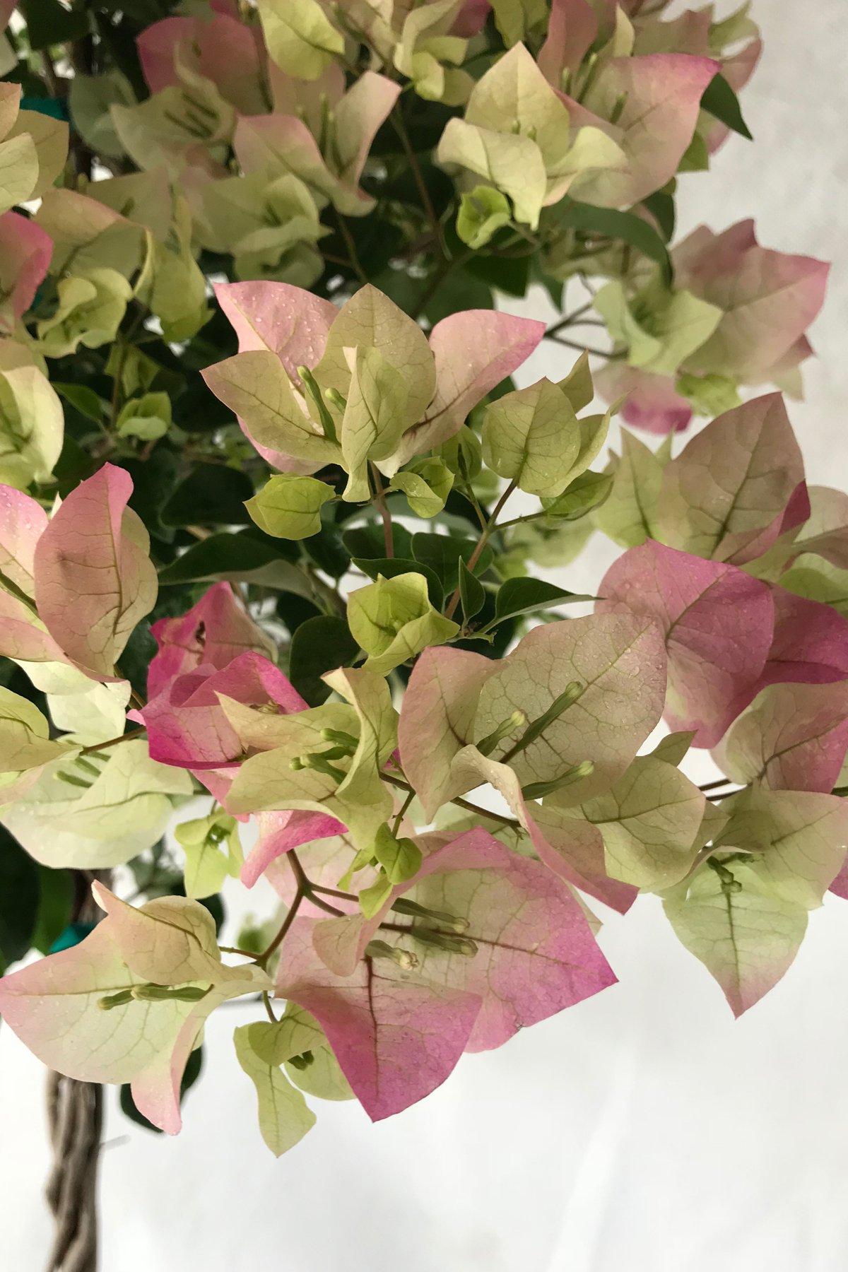 Thai Delight, Bougainvillea Plant (flowers, hanging basket, bush, trellis, patio tree, vine) (5 Gal Trellis) by Root 98 Warehouse