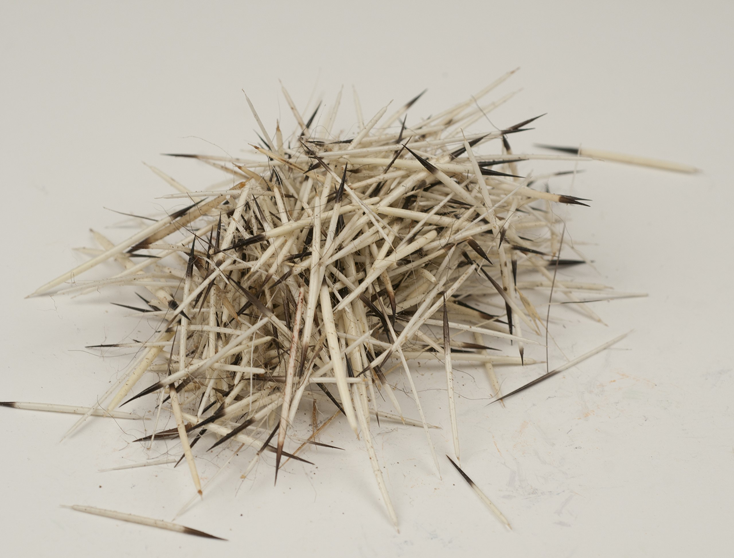 Porcupine Quills - Natural - 1 oz by Missouri River