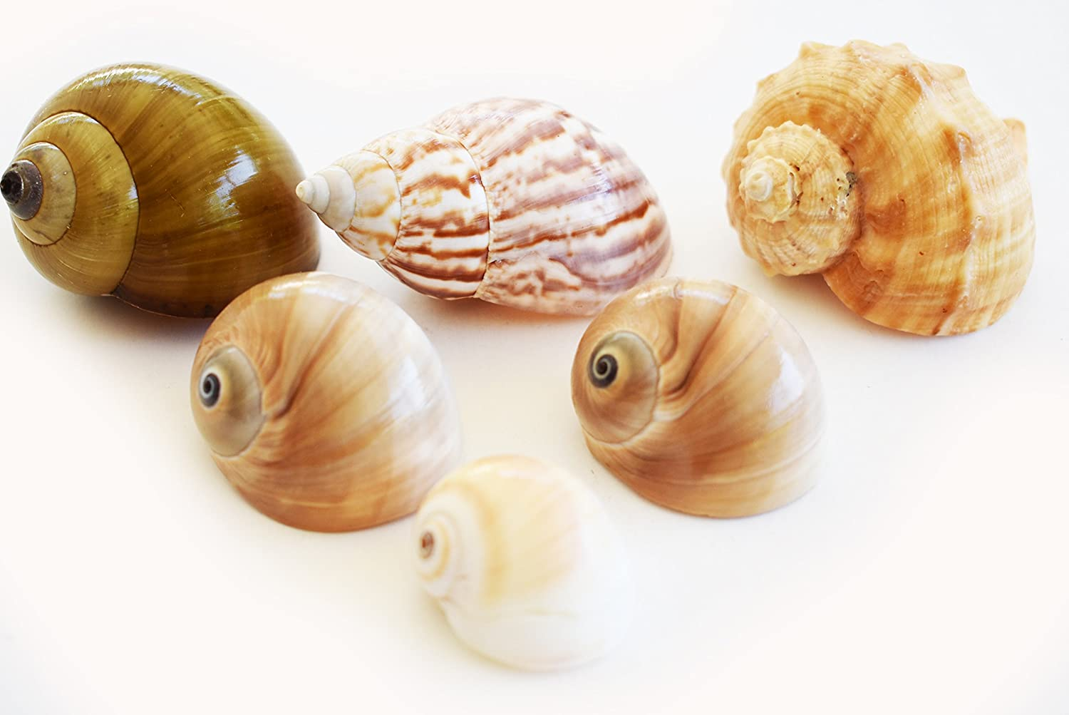 Florida Shells and Gifts Inc. 6 Medium to Large Shell Hermit Crab Changing Set - Select Shells - 3/4-1 1/2+ opening - Land Snail, Moon and Conch Shells