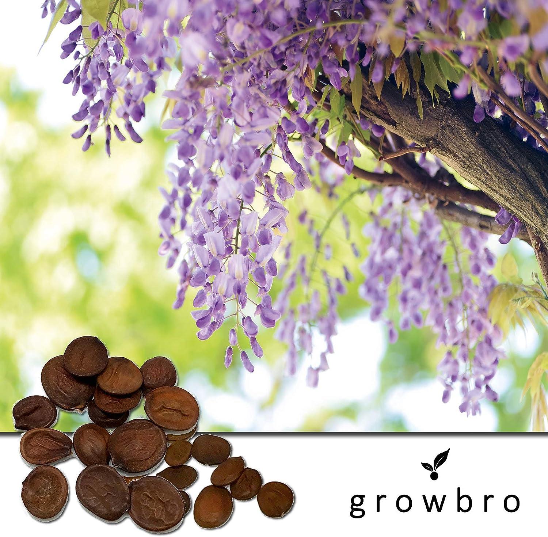 winterhart Bonsai Baum von growbro Blauregen Wisteria Samen 50 St Premium Saatgut Pflanze deinen eigenen Wald