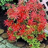 """Amazon.de Pflanzenservice Japanische Lavendelheide,  Pieris japonica """"Feuertanz"""", 1 Strauch,  5-8 triebig, 3 Liter Container"""