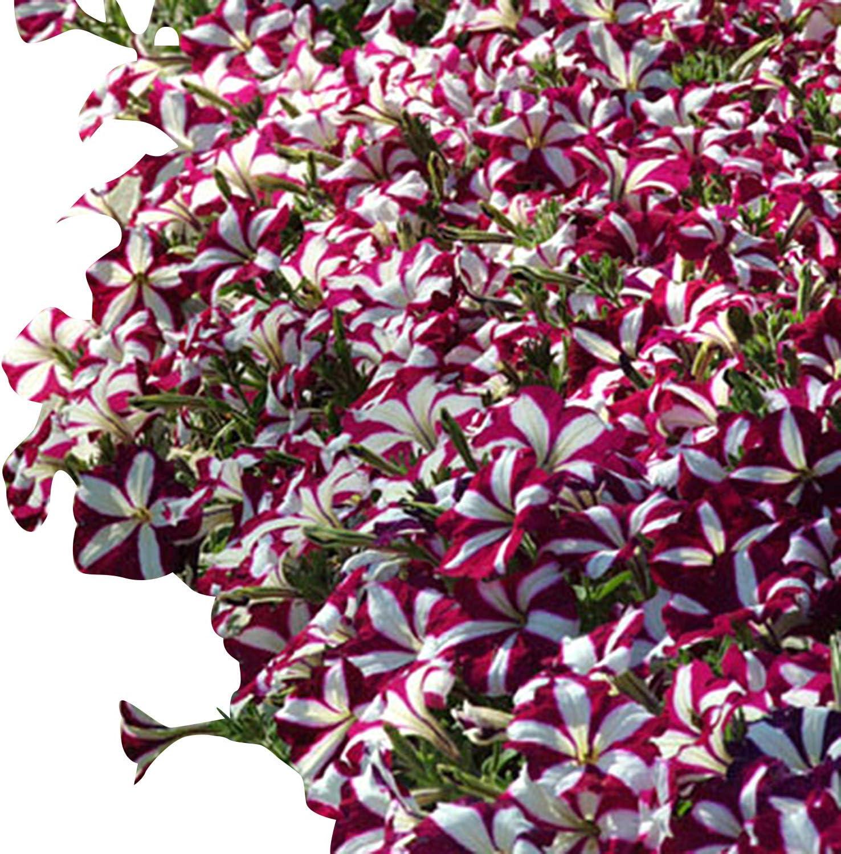 Amazon Com Petunia Easy Wave Burgundy Star Pelleted Flower Seed