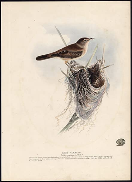 Antique Bird Print Reed Warbler Acrocephalus Arundinaceus Meyer 1853 Amazon Co Uk Kitchen Home